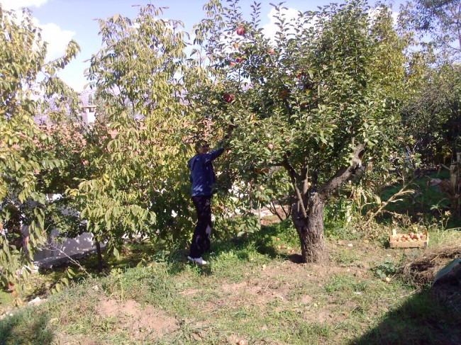 giresun espiye elma toplarken öldü
